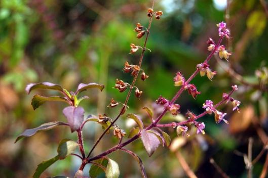 Krishna Tulasi flower by jinansekhar