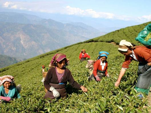 Struggling Workers in Darjeeling