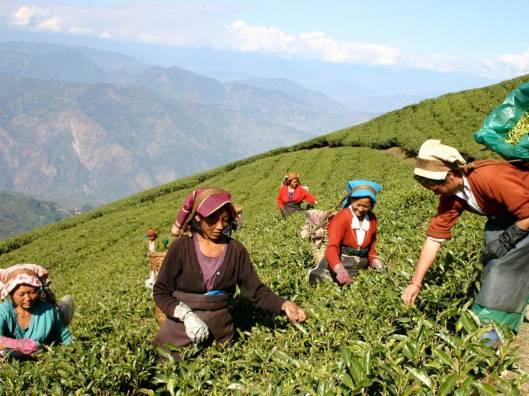 Struggling Workers in Darjeeling