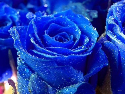 non existant blue rose